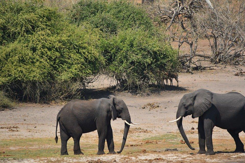 Nằm mơ thấy voi đánh nhau